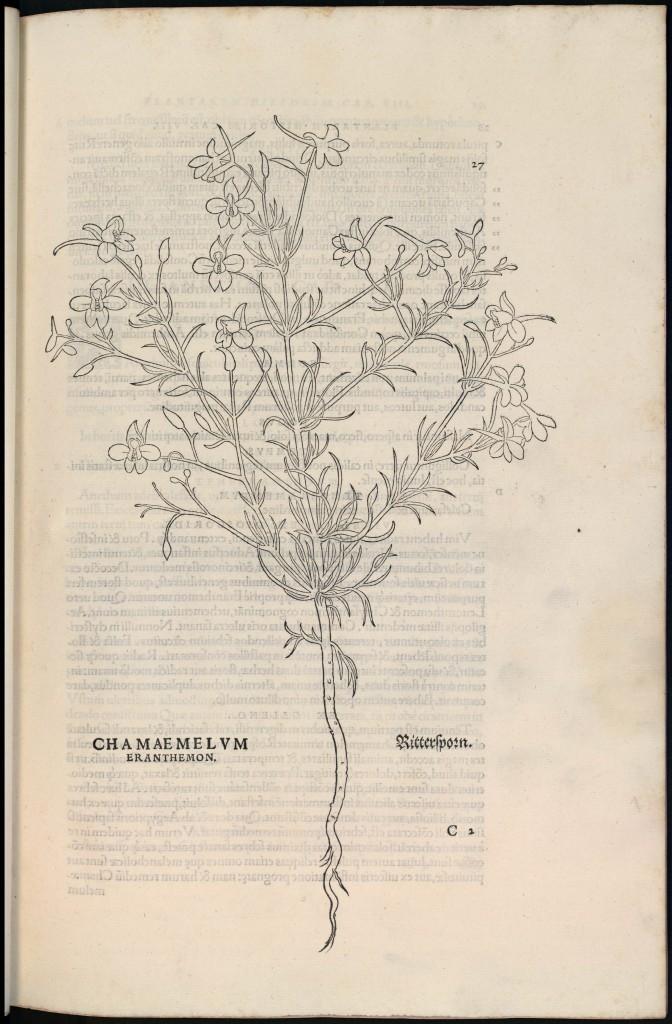 Chamaemelum