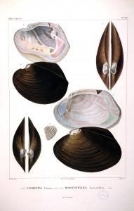 Anodontes
