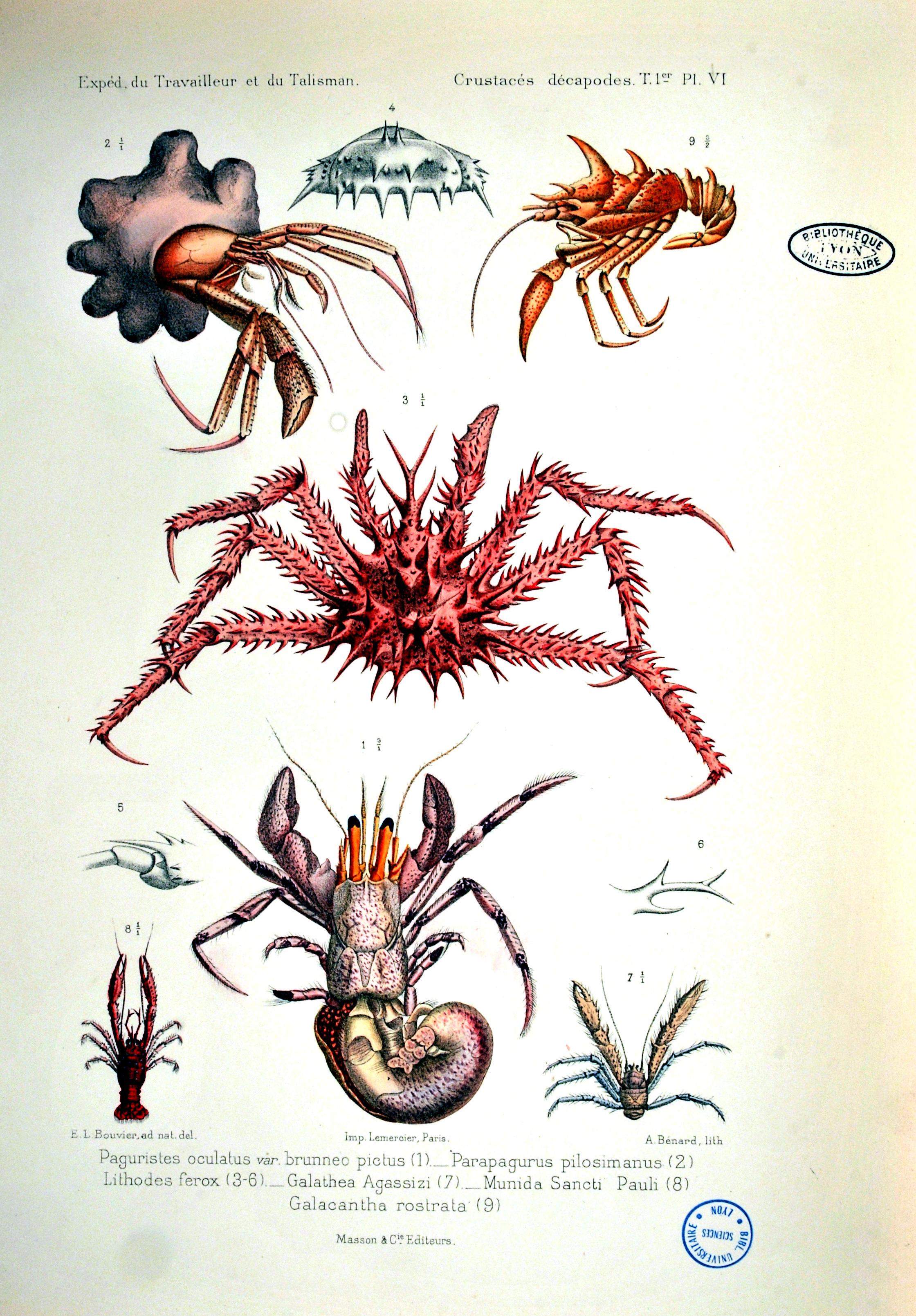A. Milne-Edwards. Expédition scientifique du travailleur et du talisman: crustacés décapodes T.1. Masson, 1900. Cote 151022