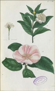 Planche XVIII (Le myrte ordinaire) du Recueil de plantes coloriées, gravée par Jean Aubry