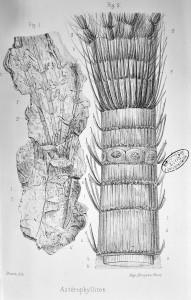 Pl.17 Astérophyllites