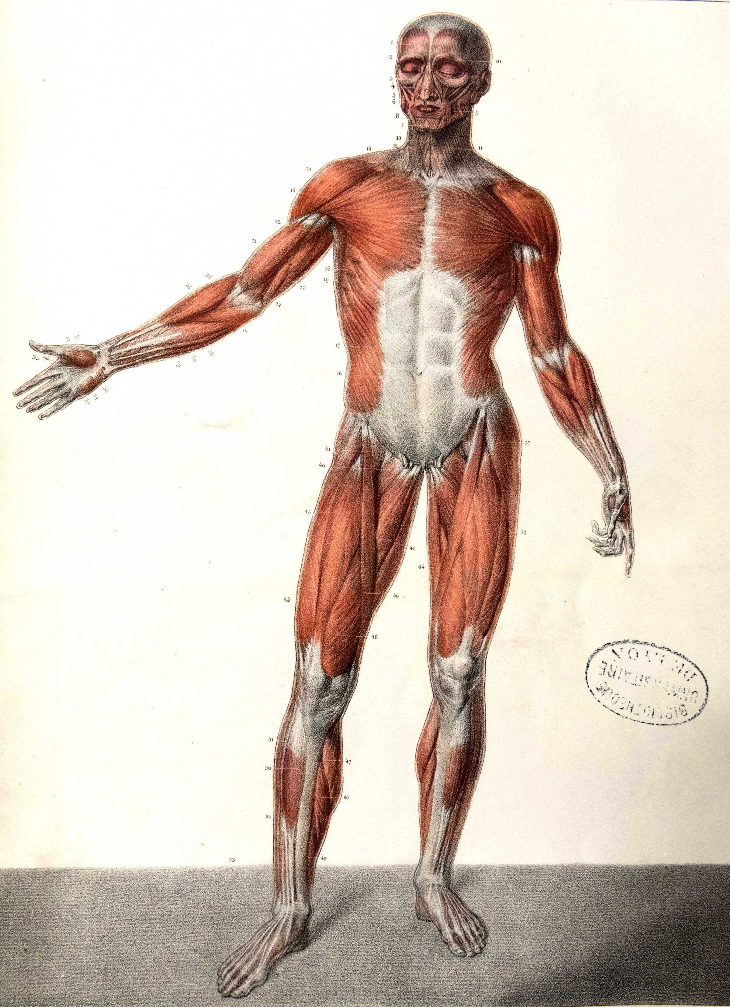 Planches anatomie (10)