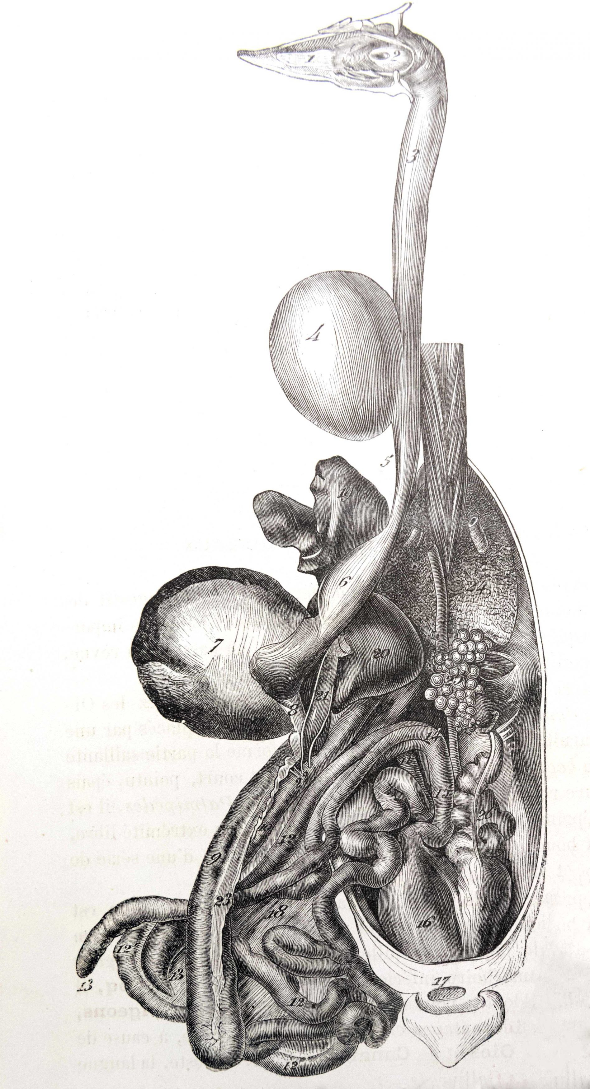 Planches anatomie (14)