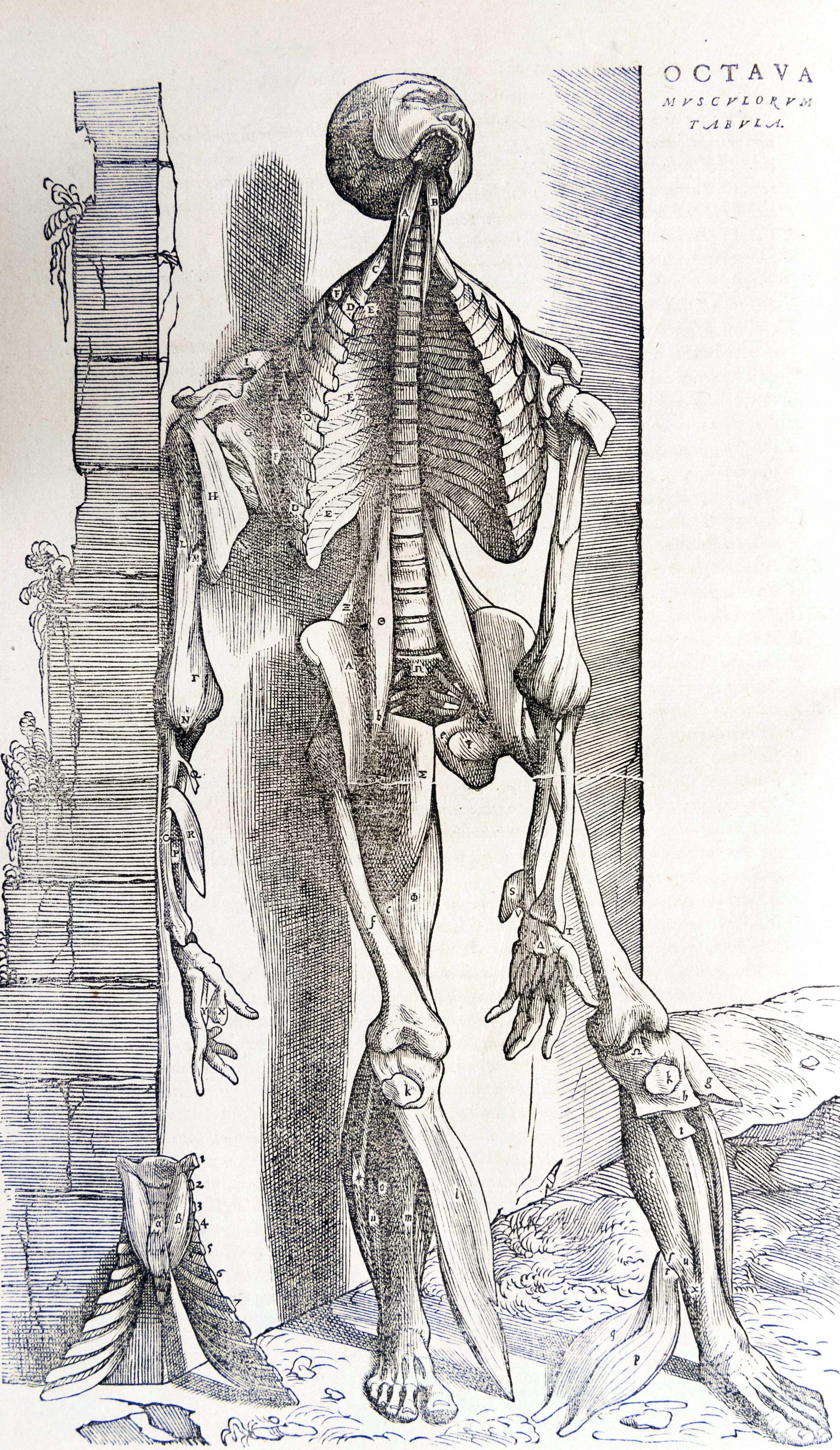 Planches anatomie (17)