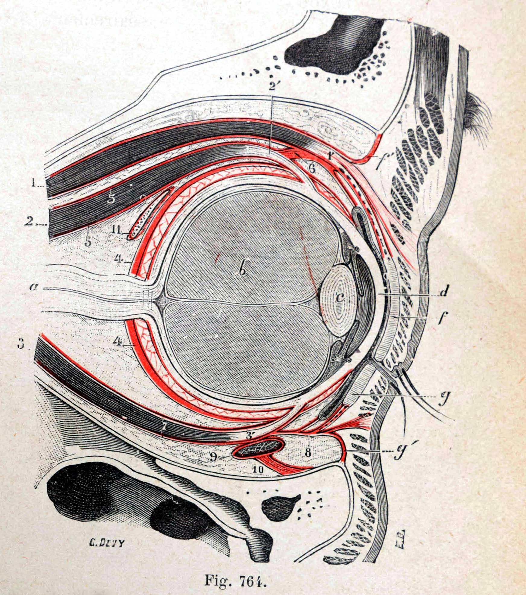 Traité d'anatomie ancien (7)