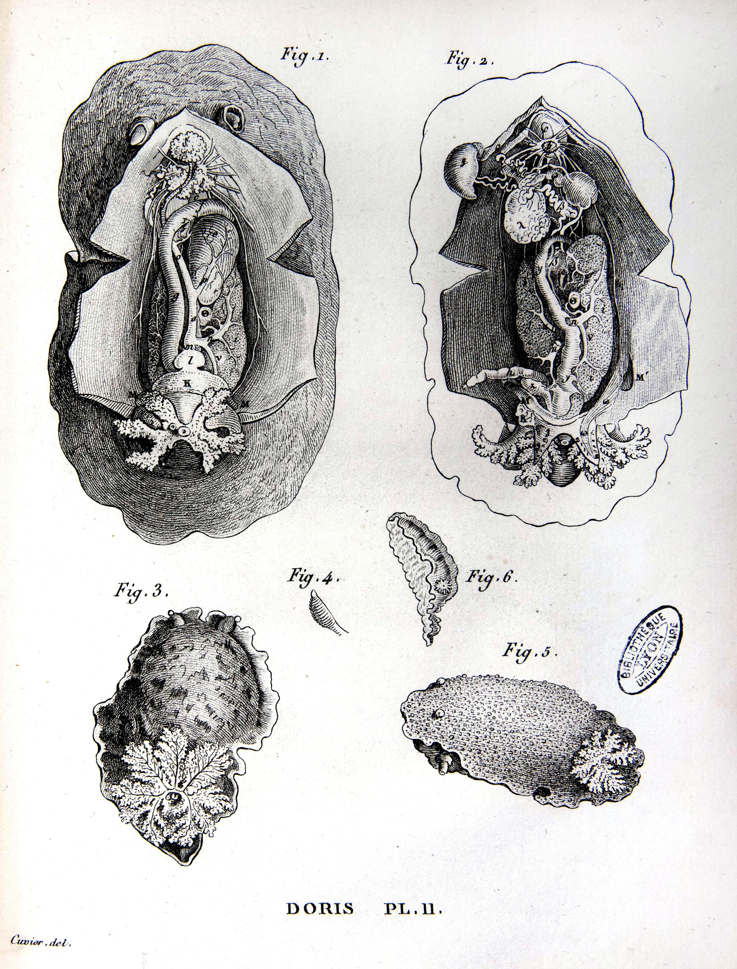 Mollusques (3)