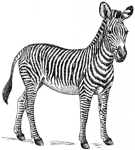 925px-Zebra_(PSF)