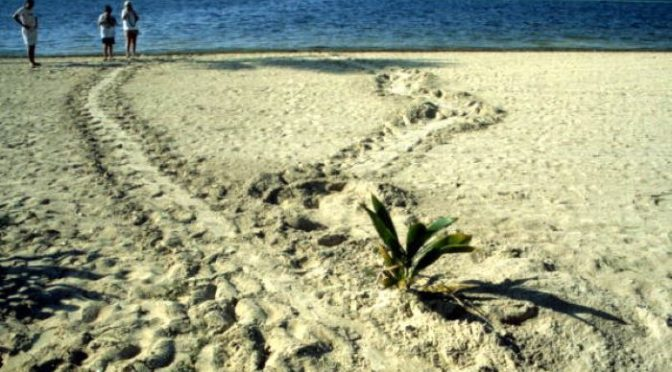 Turtle tracks at Smathers Beach: Key West, Florida, 1993