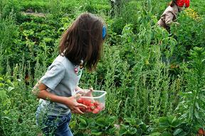 Figures 4 et 5 : Zolle, une structure qui propose aux consommateurs romains des produits issus d'exploitations du Lazio sélectionnées pour leurs pratiques respectueuses de l'environnement (système de paniers en vente sur Internet). Des visites d'exploitations et des cueillettes à la ferme sont également organisées, par exemple, sur la photo ci-dessus, des fraises sur la coopérative Caramadre, une exploitation familiale en agriculture biologique installée à Maccarese, Zona Torimpietra, juste à côté de l'aéroport Fiumicino, en juin 2013.