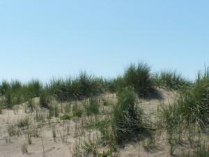 Fig. 1 - Popolamenti caratteristici delle dune mobili a dominanza di Ammophila arenaria,  presso Macchiagrande  (foto L. Cancellieri).