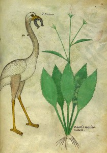 Tractatus de Herbis. 15th century. London, British Library, Ms Sloane 4016, f. 96.