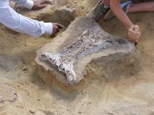Mise au jour d'un fossile d'hippopotamidé / Finding a hippopotamid fossil