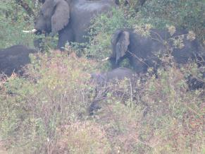 Fig. 2. Herd of African Elephant (Loxodonta africana) in Chebera-Churchura National Park (© M. Succow)