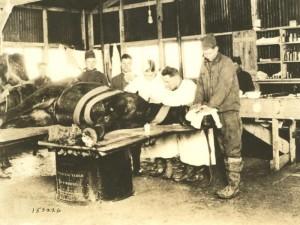Opération d'un cheval blessé par un obus