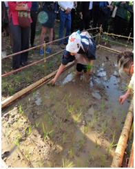 replantage du riz