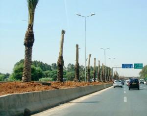 palmiers1