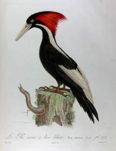 Histoire naturelle des oiseaux de l'Amérique septentrionale... P