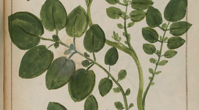 La pomme de terre dans la Botanique du territoire de Nancy, par Fonderval, 1718 (Ms 1040)