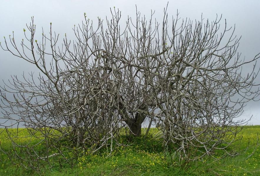 FicusCarica