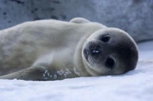 Non humain : bébé phoque de Weddell (crédits :