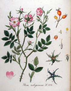 Rosa_rubiginosa_—_Flora_Batava_—_Volume_v11
