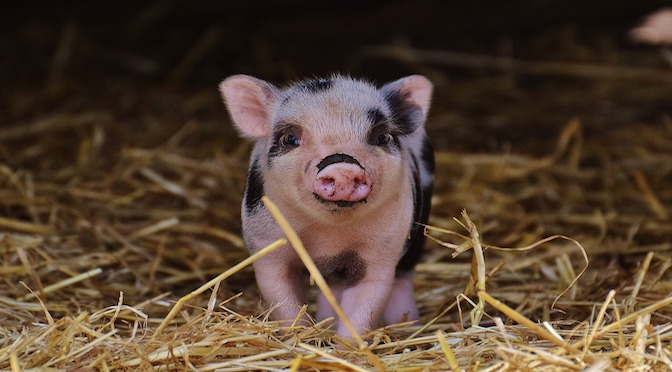 Bébé cochon dans la paille