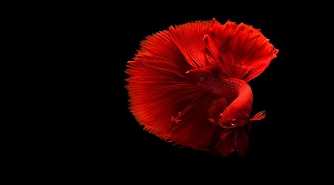 La déplorable mémoire des poissons rouges (chronique 71)