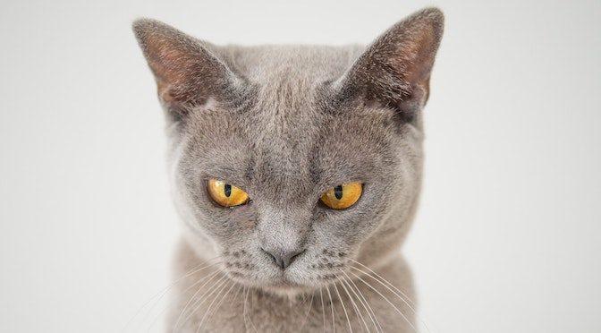 Chat gris faisant une grimace