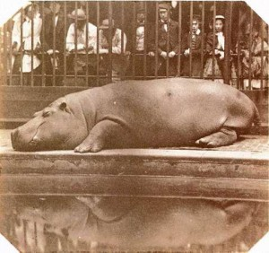 The Hippopx%The Hippopotamus at the Zoological Gardens, Regent's Park, 1852. Count de Montizon (Juan Carlos Maria Isidro de Borb—n) (1822-1887). Salted paper print, wet collodion negative using double lens, instant exposure, from The Photographic Album for the Year, 1855, 112x127mm. © RPS, 1999 The hippopotamus was captured in August 1849, on the banks of the White Nile and sent over to Queen Victoria by the Egyptian Pasha. The photograph is taken from the animal's point of view, as if from inside the cage. http://www.rps.org/collec