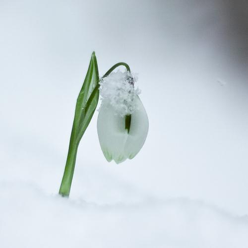One little snowdrop
