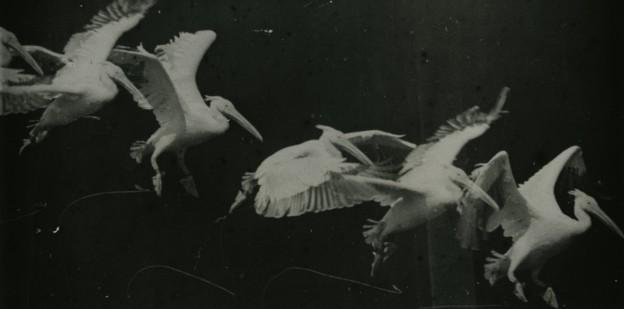 """""""Pélican en vol"""", Étienne-Jules Marey. Domaine public. Via Wikimedia Commons - http://commons.wikimedia.org/wiki/File:Marey_-_birds.jpg#mediaviewer/File:Marey_-_birds.jpg"""