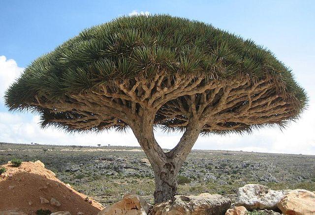 640px-Socotra_dragon_tree
