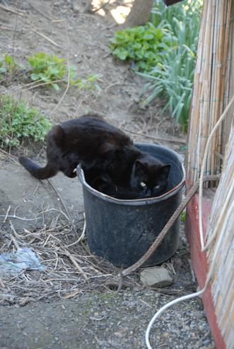 chat acrobate assoiffé