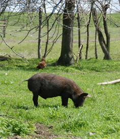 cochon en semi liberté