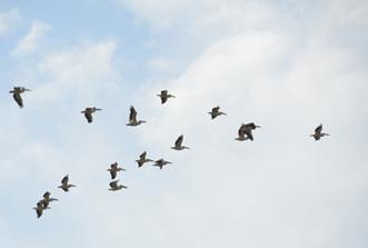 pelicanu 2