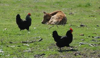 poules vaca