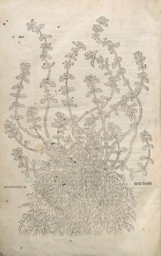 """Planche de la p. 896 (basilic, dénommé """"ocimastrum"""" par Fuchs). Photo Odile Guillon, CICRP."""
