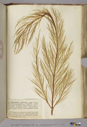 Crouan Frères. Algues marines du Finistère: 1, Fucoïdées. 1852 (Bibliothèque universitaire Saint-Charles, Res 10030/1) © cicrp - photo Odile Guillon