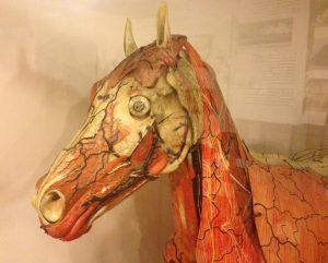 Pappmaché-Modell eines Auzoux-Pferds in Originalgröße aus der Haustierkundlichen Sammlung am Zentralmagazin Naturwissenschaftliche Sammlungen der Universität Halle-Wittenberg (Foto: Martin Stricker)