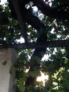 photo de la vigne plantée par le père de Jean-Claude