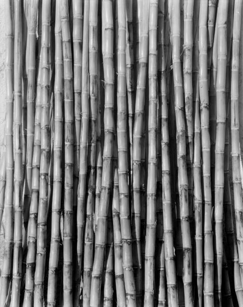 T. Modotti, Canne à sucre, 1926