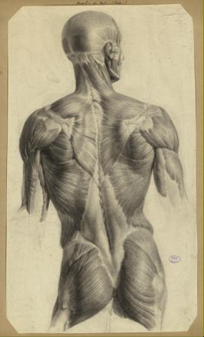 Nicolas Henri Jacob, Ecorché des muscles du dos, étude préparatoire pour le Traité complet de l'anatomie de l'Homme de Jean-Baptiste Marc Bourgery, 1831-1854, Paris, BIU Santé, cote : Ms81.