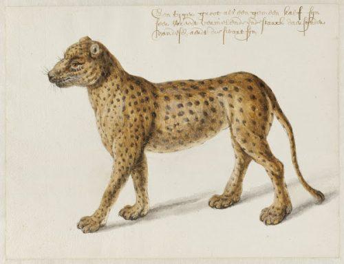 Frans Post (1612–1680), Jaguar, ca. 1638-1643, aquarelle et gouache avec encre noire, Noord-Hollands Archief, Haarlem, inv.nr. 53004667
