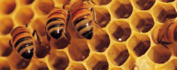 Le retour des abeilles