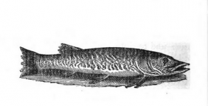 Pike, in The Complete Angler, London 1653