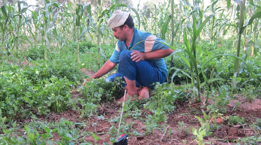 Un agriculteur de Targa n'Oussengar (le périmètre irrigué du maïs) récolte de la coriandre pour la commercialiser au marché des Amicales de Tiznit. La parcelle est aménagée pour l'irrigation gravitaire traditionnelle. Chaque carré est entouré de maïs qui est utilisé pour l'alimentation animal.