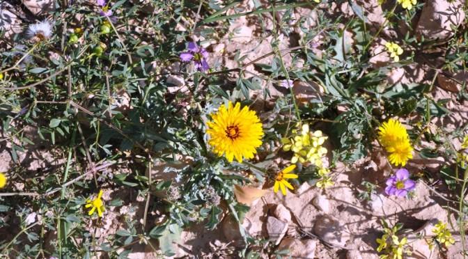 Flore sur les terres abandonnées de Targa n'Oussengar