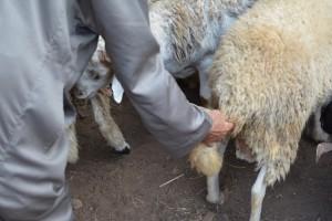 Choisir le mouton