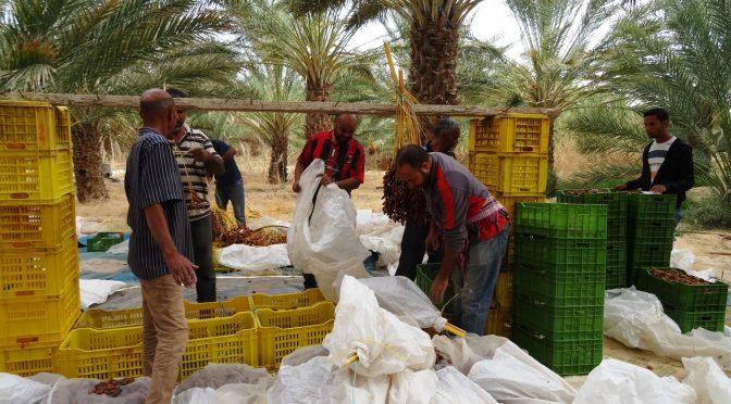 Deux ambiances agricoles dans la palmeraie de Nefta : retour sur deux visites de parcelles