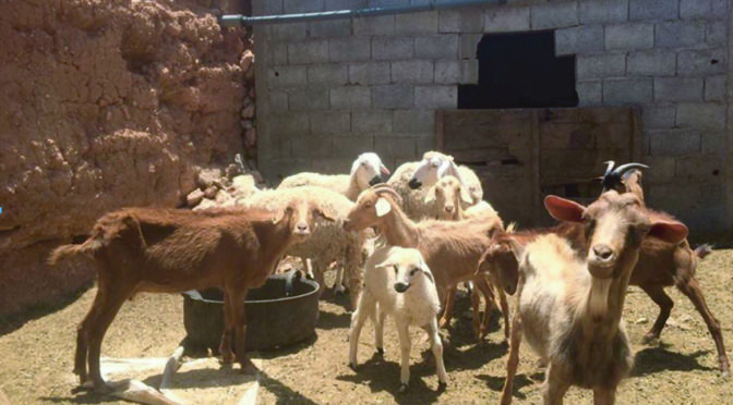 Entrepreneuriat féminin agricole à Tiznit : une affaire de veuves
